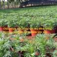 Kĩ thuật trồng hoa vạn thọ trong chậu