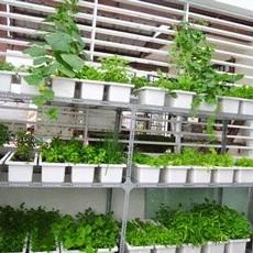 Tự làm giàn trồng rau sạch tại nhà đơn giản mà hiệu quả