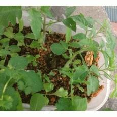 Tận dụng xỉ than để trồng rau sạch mạng lại hiệu quả bất ngờ