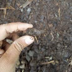Tại sao cần ủ phân hữu cơ với men vi sinh Trichoderma?