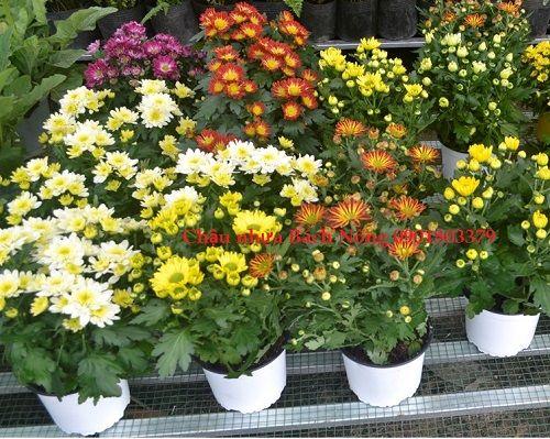 Vườn hoa cúc sử dụng chậu nhựa TTK