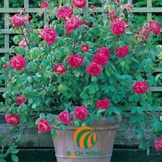 10 bước giúp hoa hồng nở quanh năm (Phần 1)