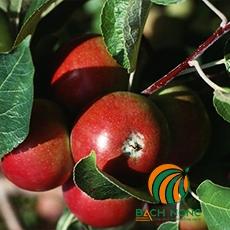 Hướng dẫn trồng cây táo và thu hoạch táo