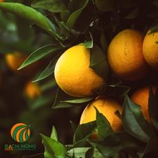 Điều kiện tối ưu cho cây cam
