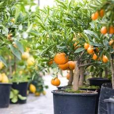 Cách trồng cam trong chậu