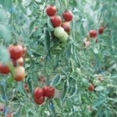 Tại sao cây cà chua lại chuyển sang màu vàng?
