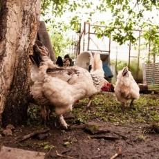 Cách bón phân gà cho cây trồng