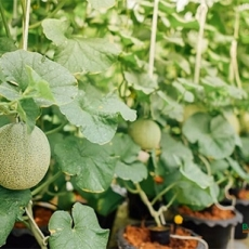 Cách trồng dưa lưới trong chậu
