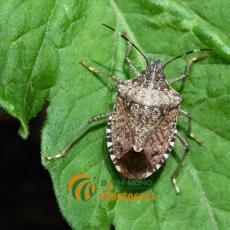 Cách xử lý bọ xít mà không cần thuốc trừ sâu