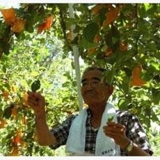 Cùng học hỏi 3 ông lão Nhật Bản nổi tiếng làm nông không hóa chất