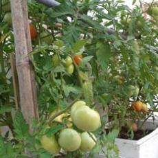 Bí quyết của bác sĩ ung bướu giúp trồng rau sạch hiệu quả