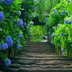 Hàng rào nhà bạn sẽ rất xinh nếu trồng 7 loại cây này