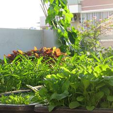 Với diện tích 25m² trên sân thượng để trồng rau sạch đủ ăn quanh năm