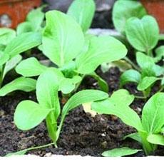Mẹo giữ nước cho vườn rau sạch ngày nắng nóng