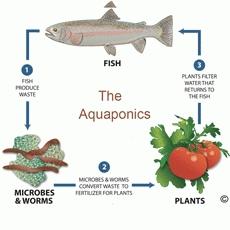 Biết cách kết hợp trồng rau sạch với nuôi cá cho năng suất cao