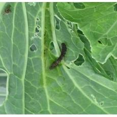 Phương pháp diệt trừ sâu bướm hữu cơ