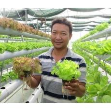 Những điều cần làm trước và sau thu hoạch rau thủy canh