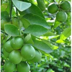 8 loại cây ăn trái nhanh được thu hoạch và cho năng suất cao