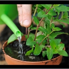 Hướng dẫn các mẹ trồng rau gia vị tại nhà đúng cách