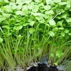 Bạn nên lưu ý khi trồng rau mầm trong mùa mưa