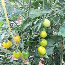 Với nhà lưới trồng rau diện tích 5.000 m² thu 20 triệu đồng mỗi ngày