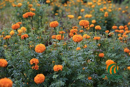Hoa vạn thọ trồng dịp tết