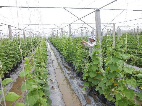 Mô hình nhà lưới trồng rau kín sử dụng lưới mùng màu trắng đục hoặc xanh lá cây