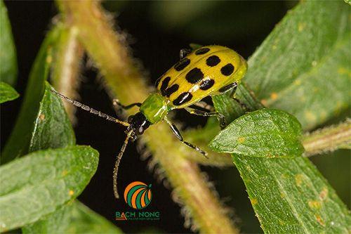 Cận cảnh một con bọ cánh cứng màu vàng