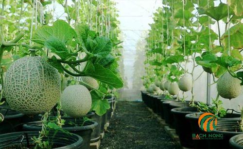 Cách trồng dưa lưới trong chậu nhựa