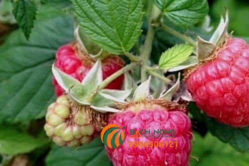 Cách trồng cây mâm xôi từ hạt giống