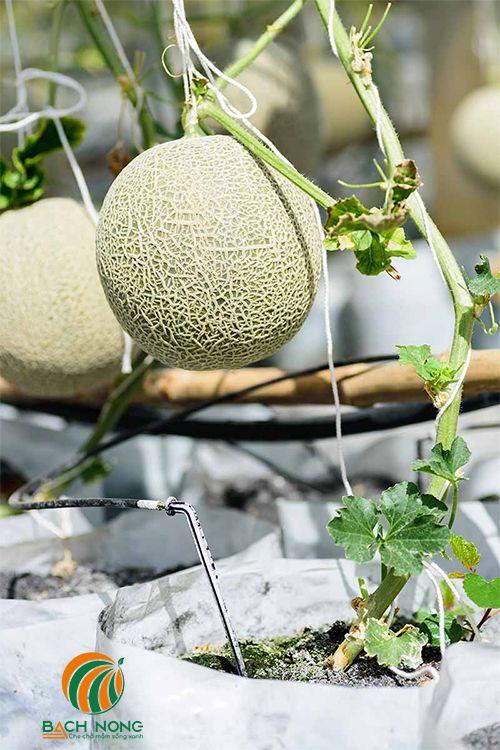 Dưa lưới trồng trong chậu nhựa mềm