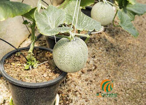 Cận cảnh dưa lưới ra quả trồng trong chậu nhựa