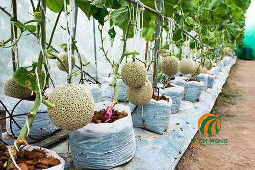 Cận cảnh một hàng dưa lưới đang chín trên cây, trồng trong túi nhựa trắng trong nhà trong nhà kính với quả được treo trên các giá đỡ cố định.