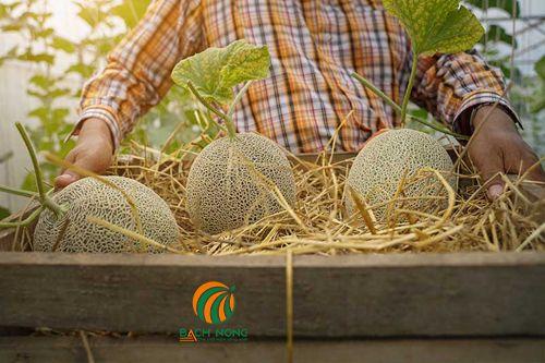 Thu hoạch dưa lưới trồng trong thùng xốp