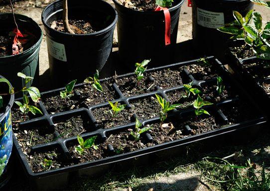 Những cây táo sau khi trồng 8 tuần tuổi