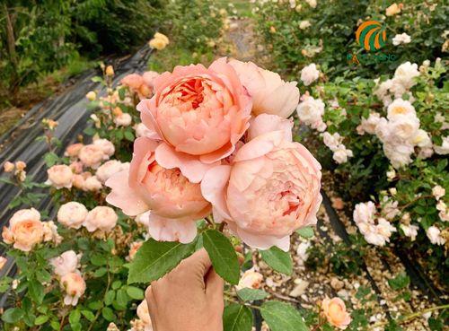 10 bước giúp hoa hồng nở quanh năm