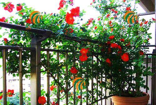 Lựa chọn vị trí trồng hoa hồng phù hợp