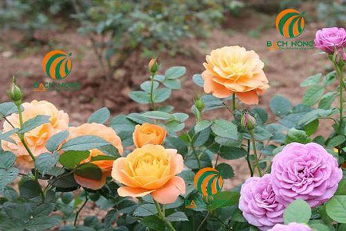 Lựa chọn giống hoa hồng phù hợp