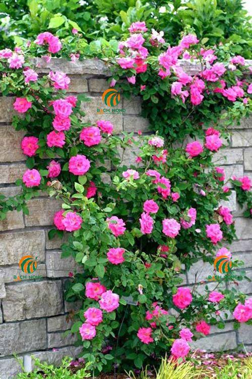 Thời gian trồng hoa hồng thích hợp