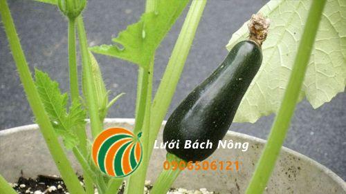 Bí hồ trồng trong chậu