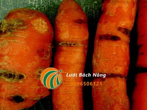 Cà rốt bị nấm gây hại