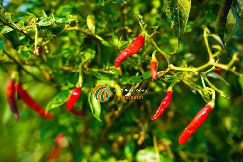 Nhiệt độ ảnh hưởng đến quả của ớt