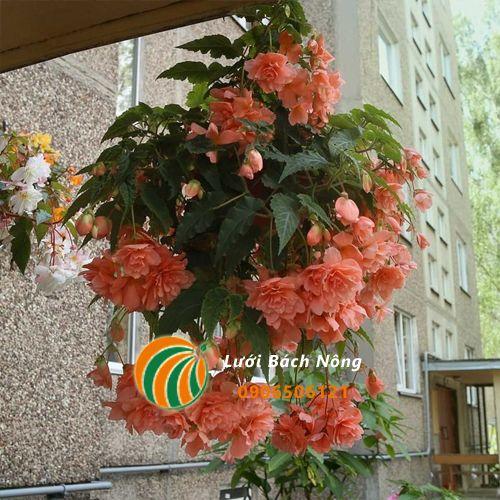 Trồng hoa hải đường trong chậu treo