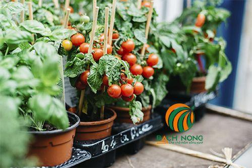 Cà chua trồng trong chậu nhựa