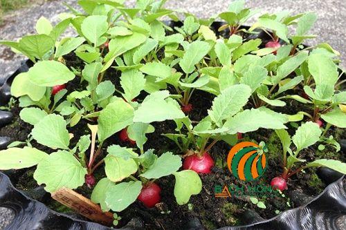 Củ cải đỏ trồng trong chậu