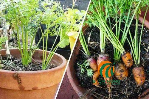 Trồng cà rốt bằng chậu