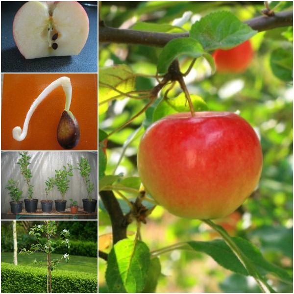 Cách trồng táo trong chậu ngay tại nhà